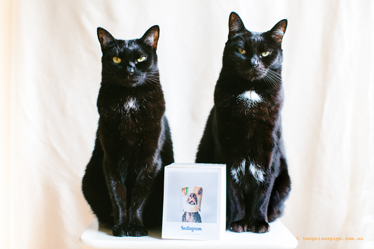 twoguineapigs_pet_photography_black_cats_instagram_communityfirst