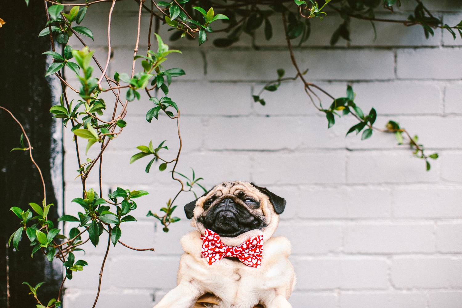 45_twoguineapigs_pet_photography_ohjaffa_vday_bowtie_collection_2015_BTS_1500.jpg
