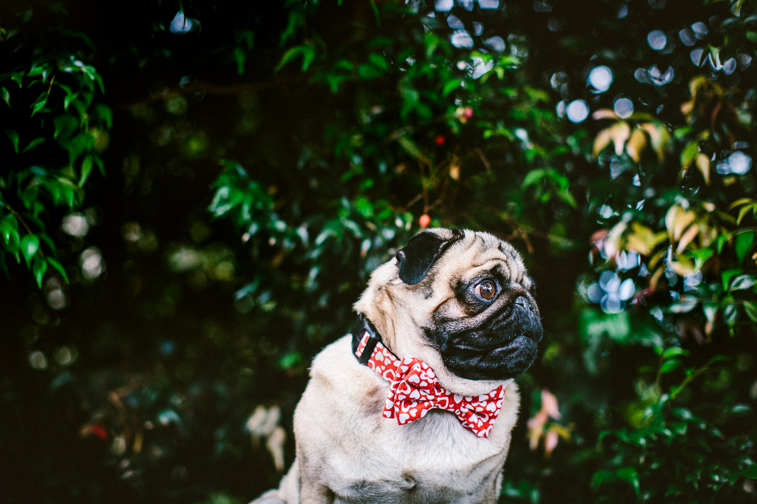 11_twoguineapigs_pet_photography_ohjaffa_vday_bowtie_collection_2015_1500.jpg