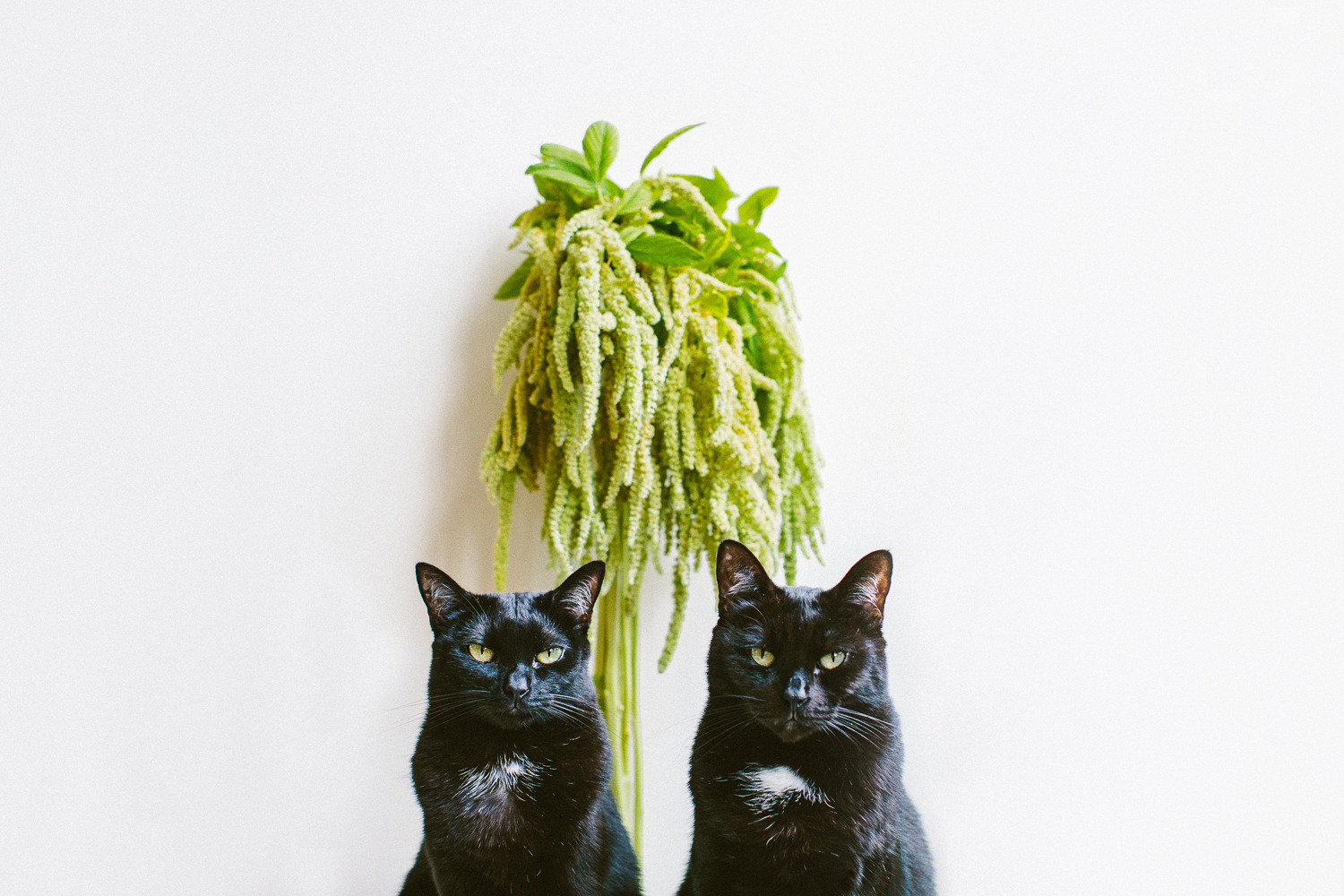 twoguineapigs_pet_photography_black_cats_amaranths_flower_series