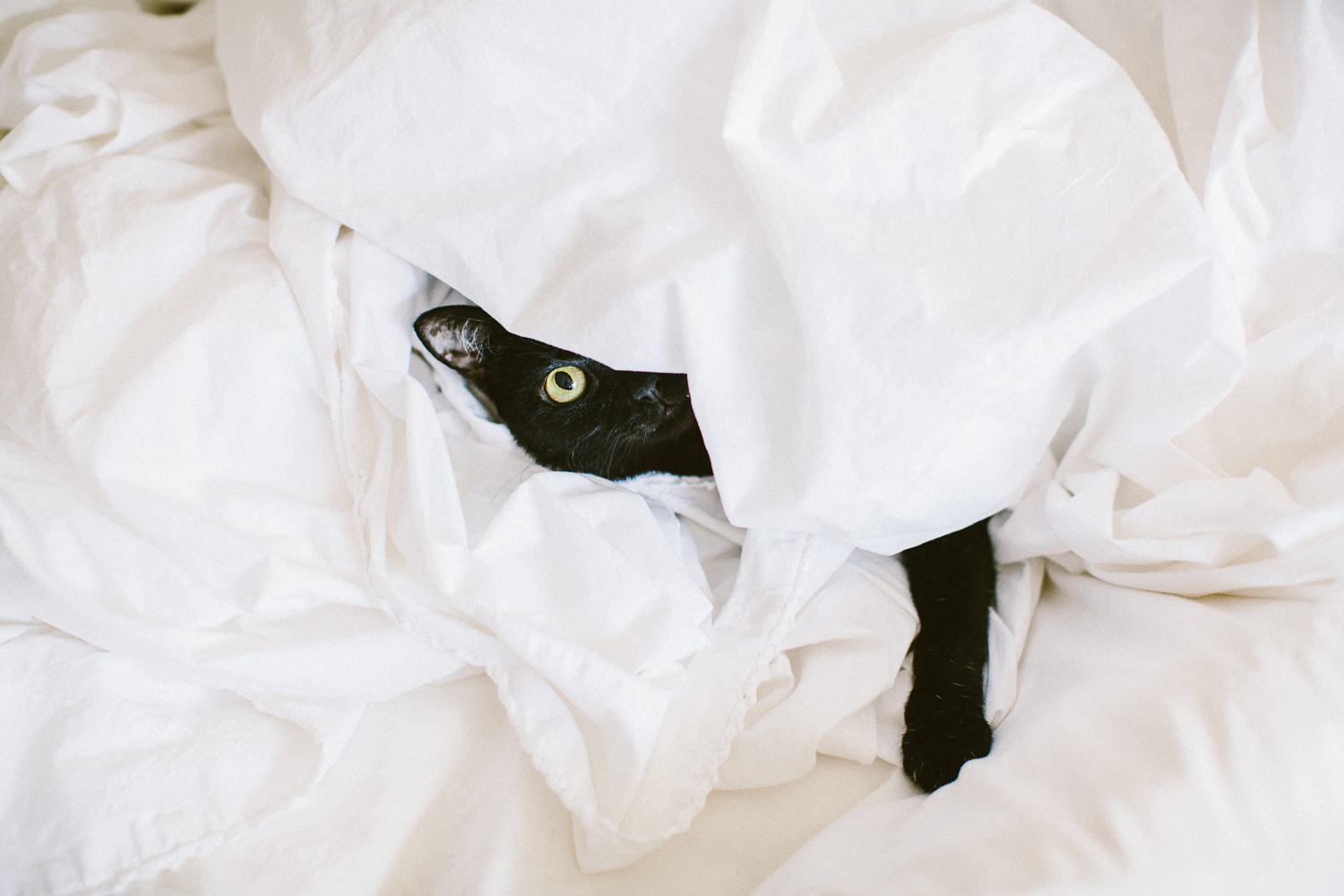 twoguineapigs_pet_photography_black_cats_pf_cat_bombay_cats_in_bed