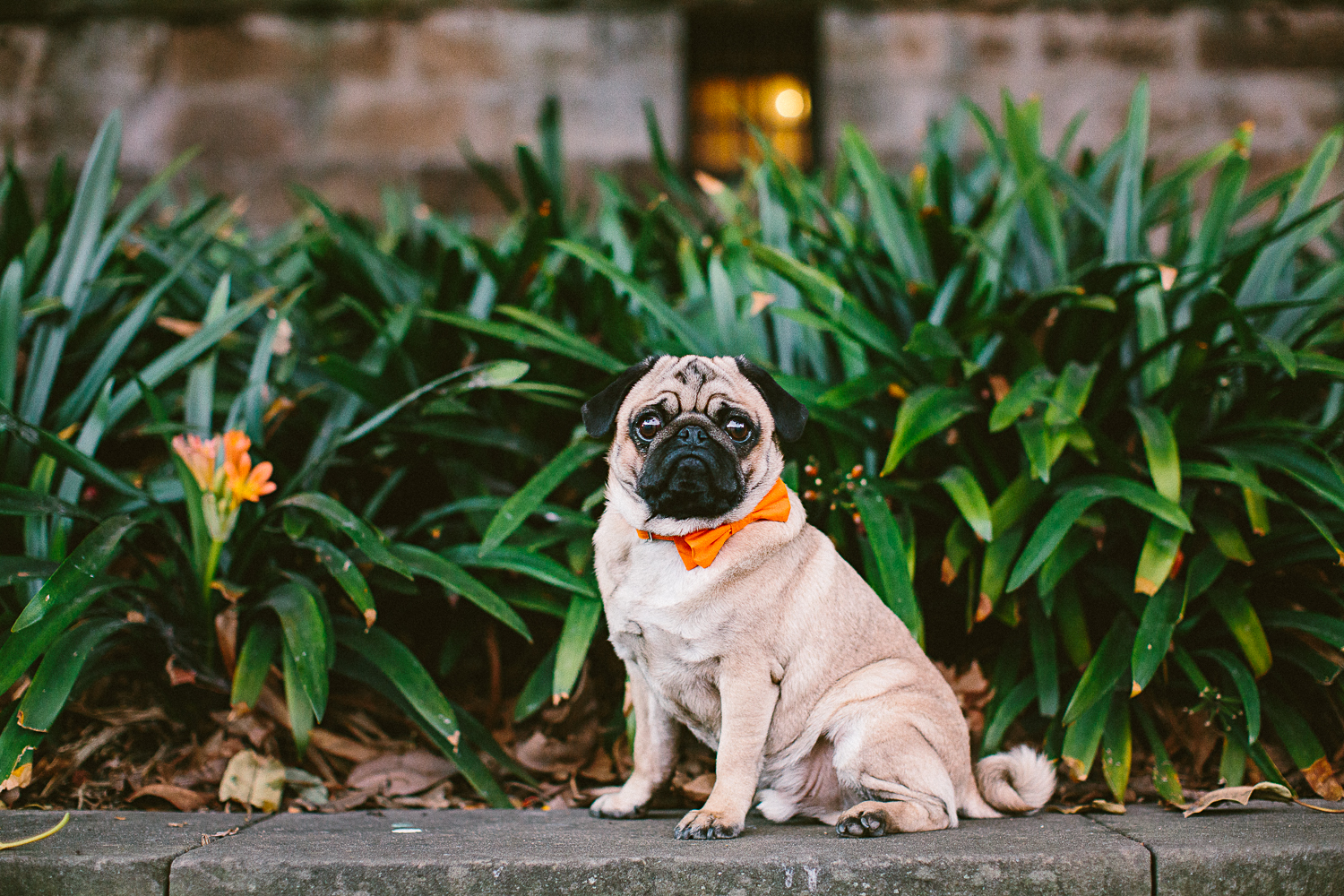twoguineapigs_pet_photography_oh_jaffa_pugs_bow_ties_collars_ORANGE_1500-17.jpg