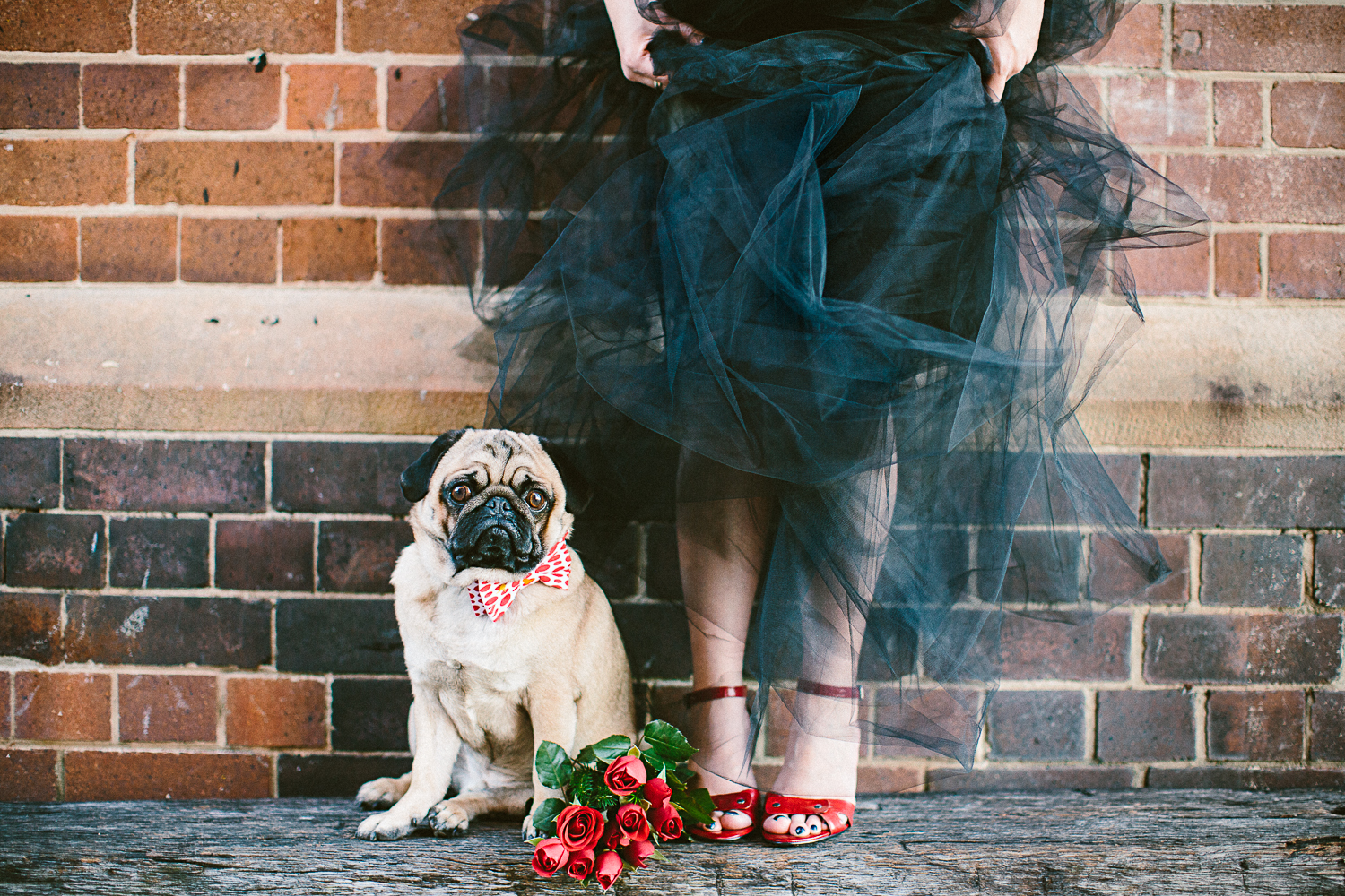 twoguineapigs_pet_photography_oh_jaffa_pugs_bow_ties_collars_REDPOLKA_1500-28.jpg