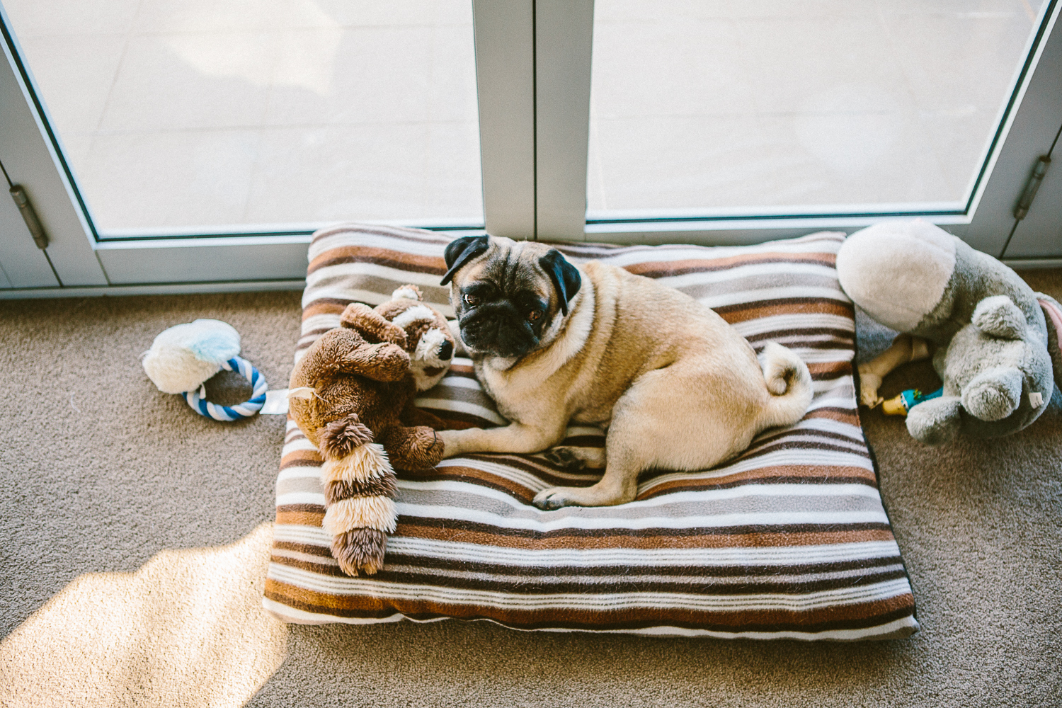 twoguineapigs_pet_photography_pug_chester_animal_photography