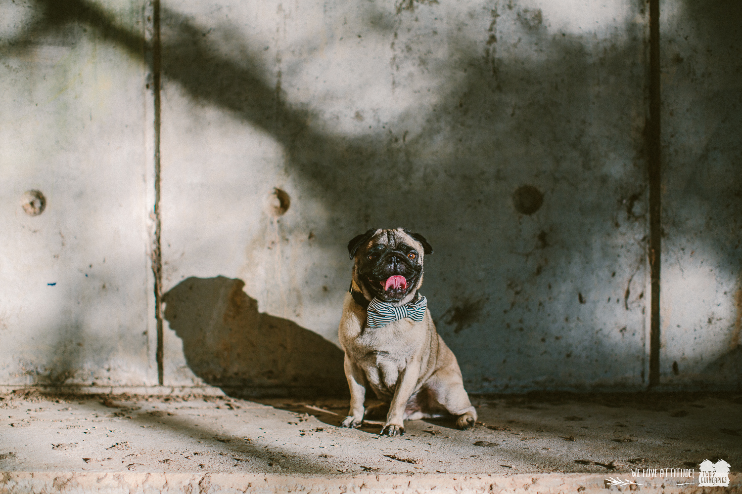 twoguineapigs_pet_photography_chester_pug_newington_family_session