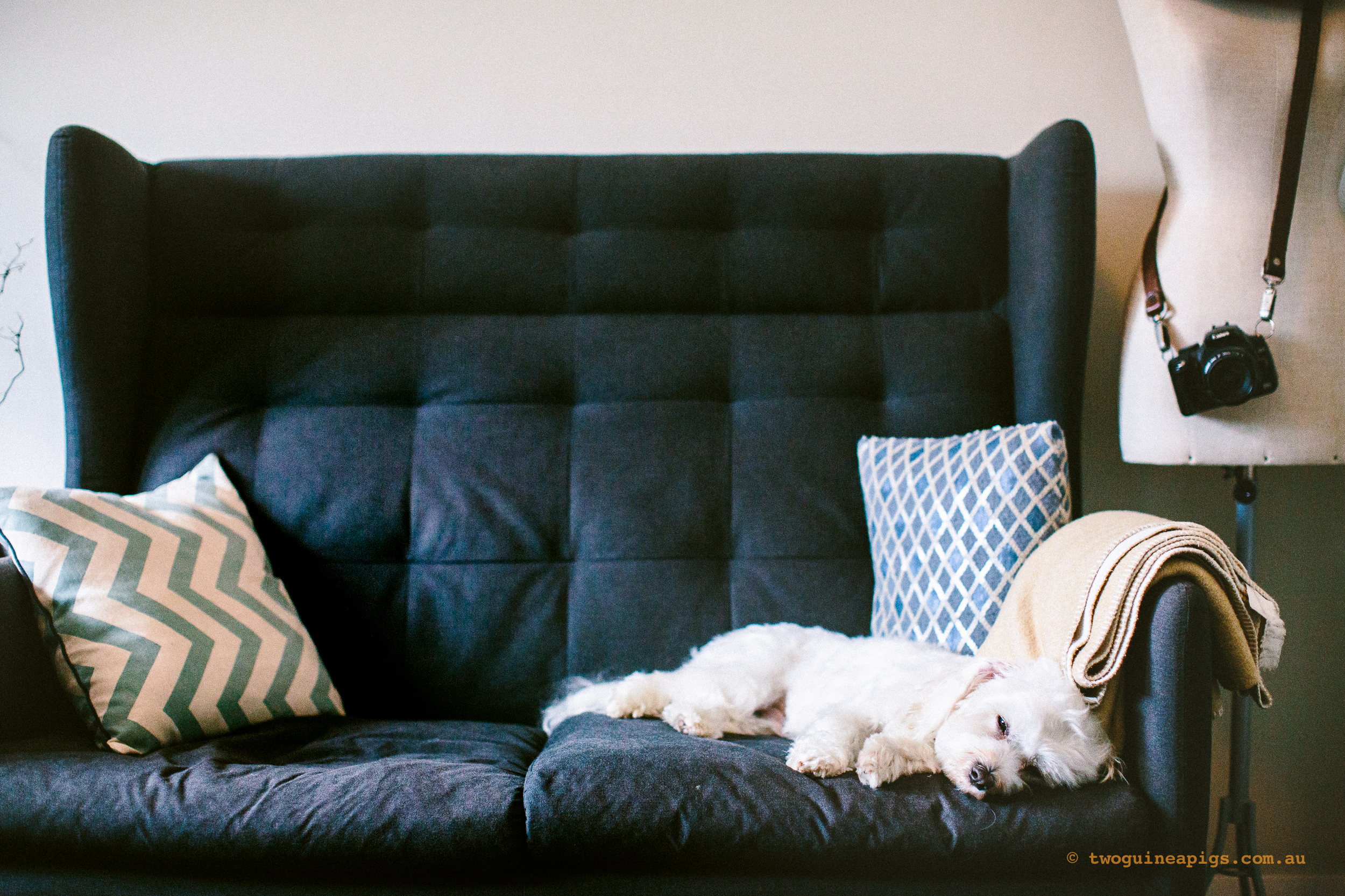 twoguineapigs_pet_photography_dalston_havanese_holiday_day2_dog