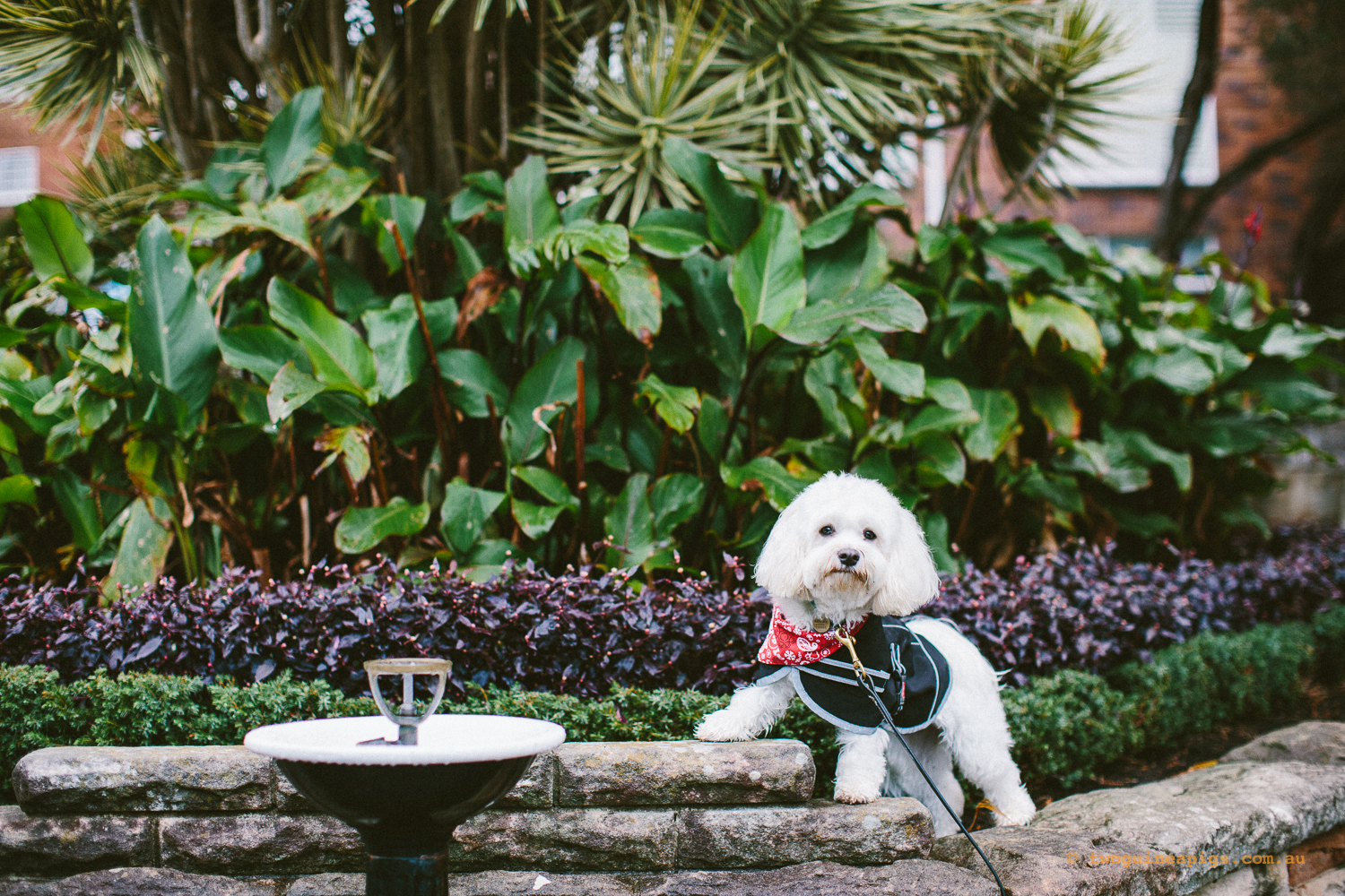 twoguineapigs_pet_photography_dalston_havanese_holiday_day3_dog