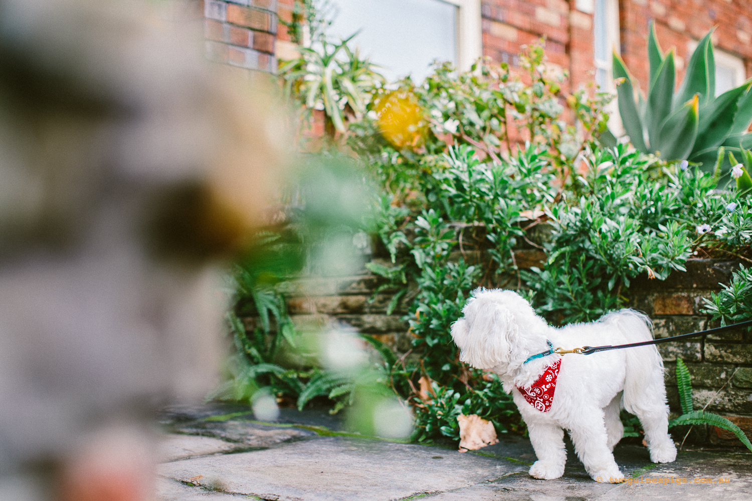 twoguineapigs_pet_photography_dalston_havanese_holiday_day4_dog