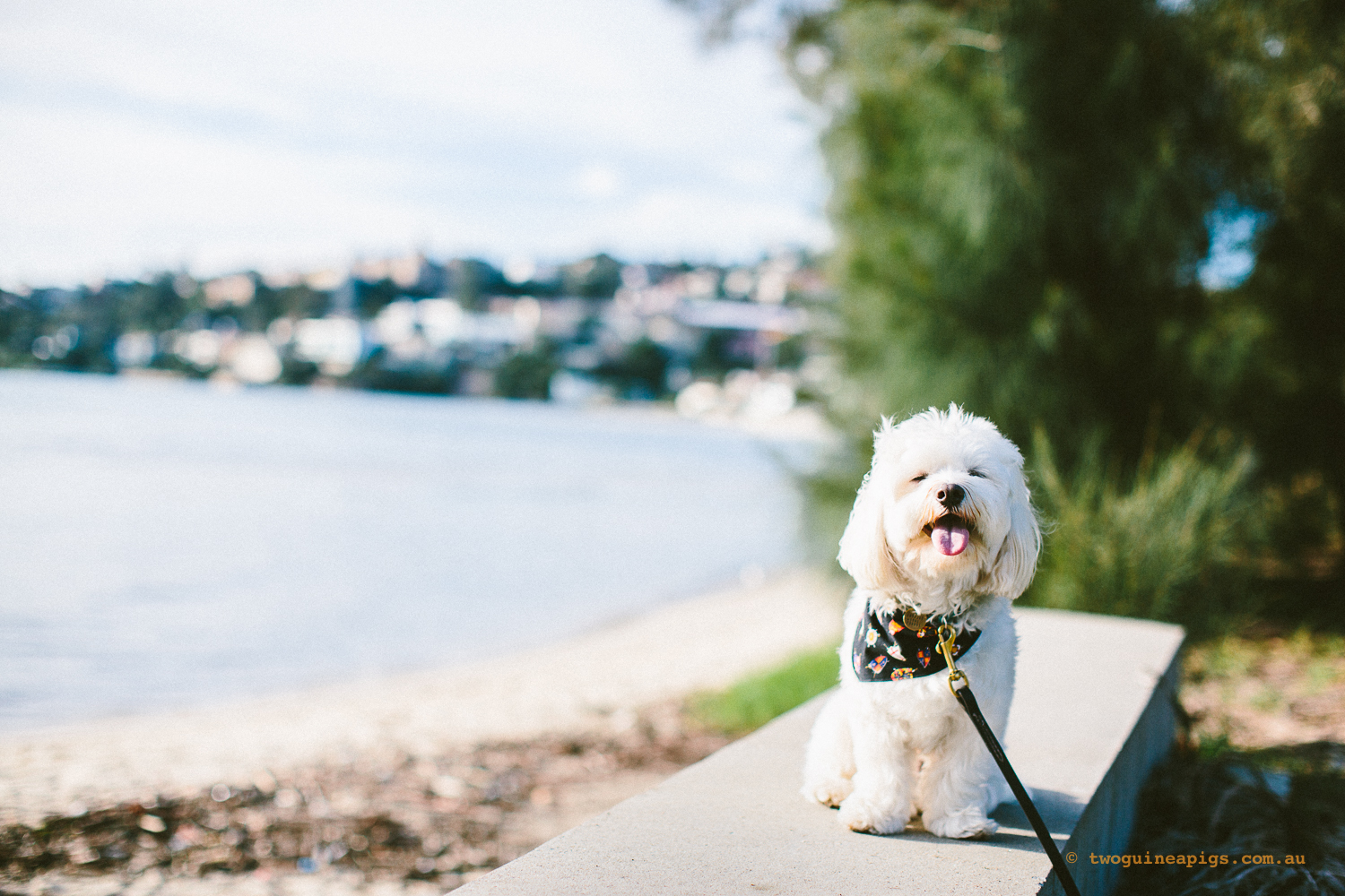 twoguineapigs_pet_photography_dalston_havanese_holiday_day5_dog