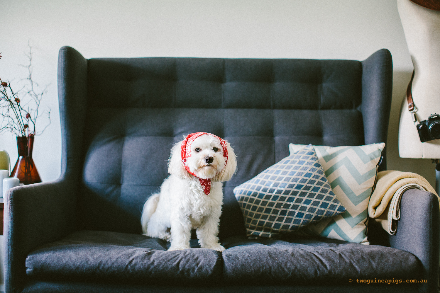 twoguineapigs_pet_photography_dalston_havanese_holiday_day7_dog