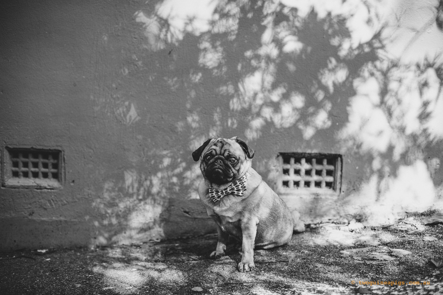 twoguineapigs_pet_photography_ohjaffa_pug_dog_animal_darlinghurst_bowtie_graffiti