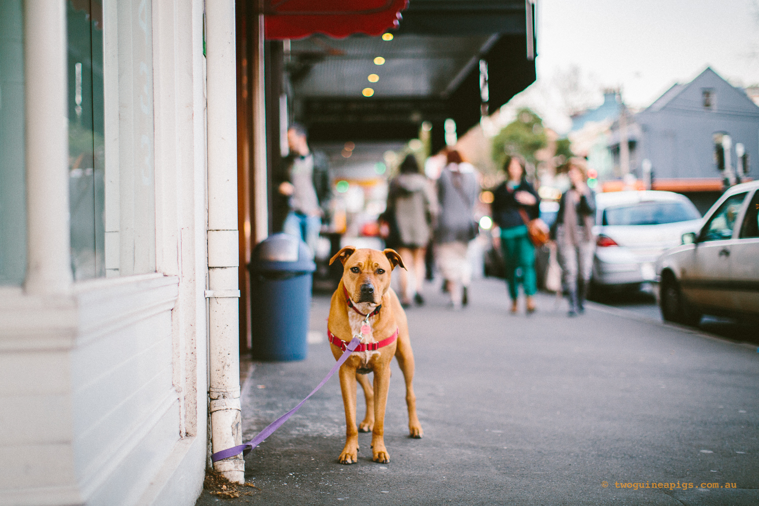 twoguineapigs_pet_photography_urban_animals_street_photography_surry_hills