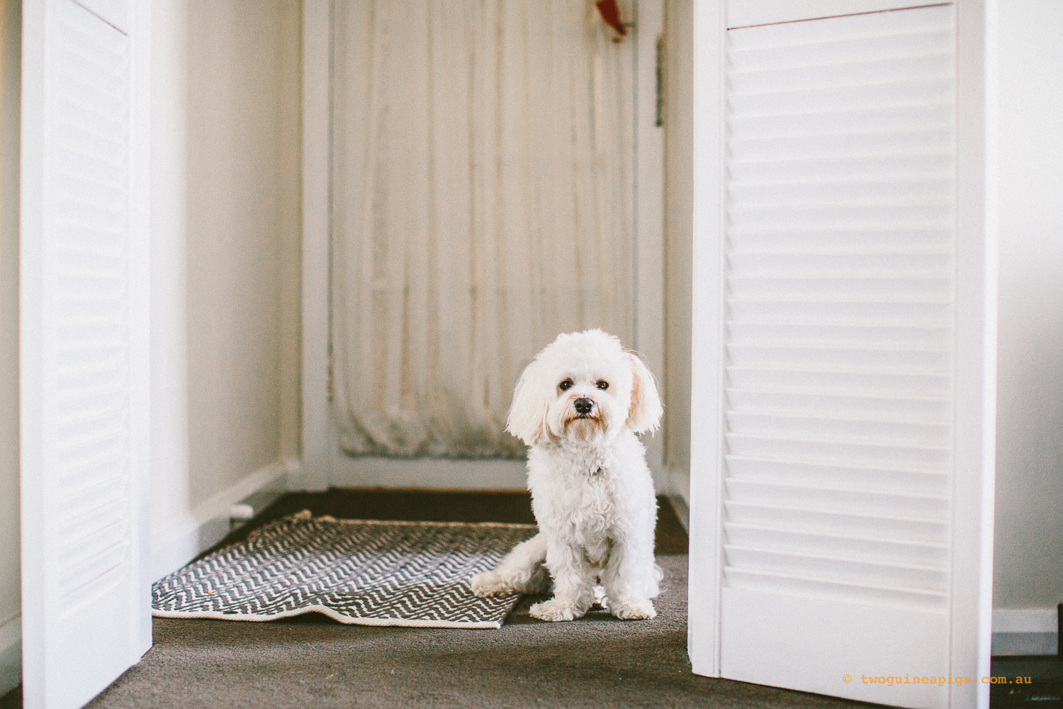 twoguineapigs_pet_photography_dalston_havanese_holiday_day6_dog