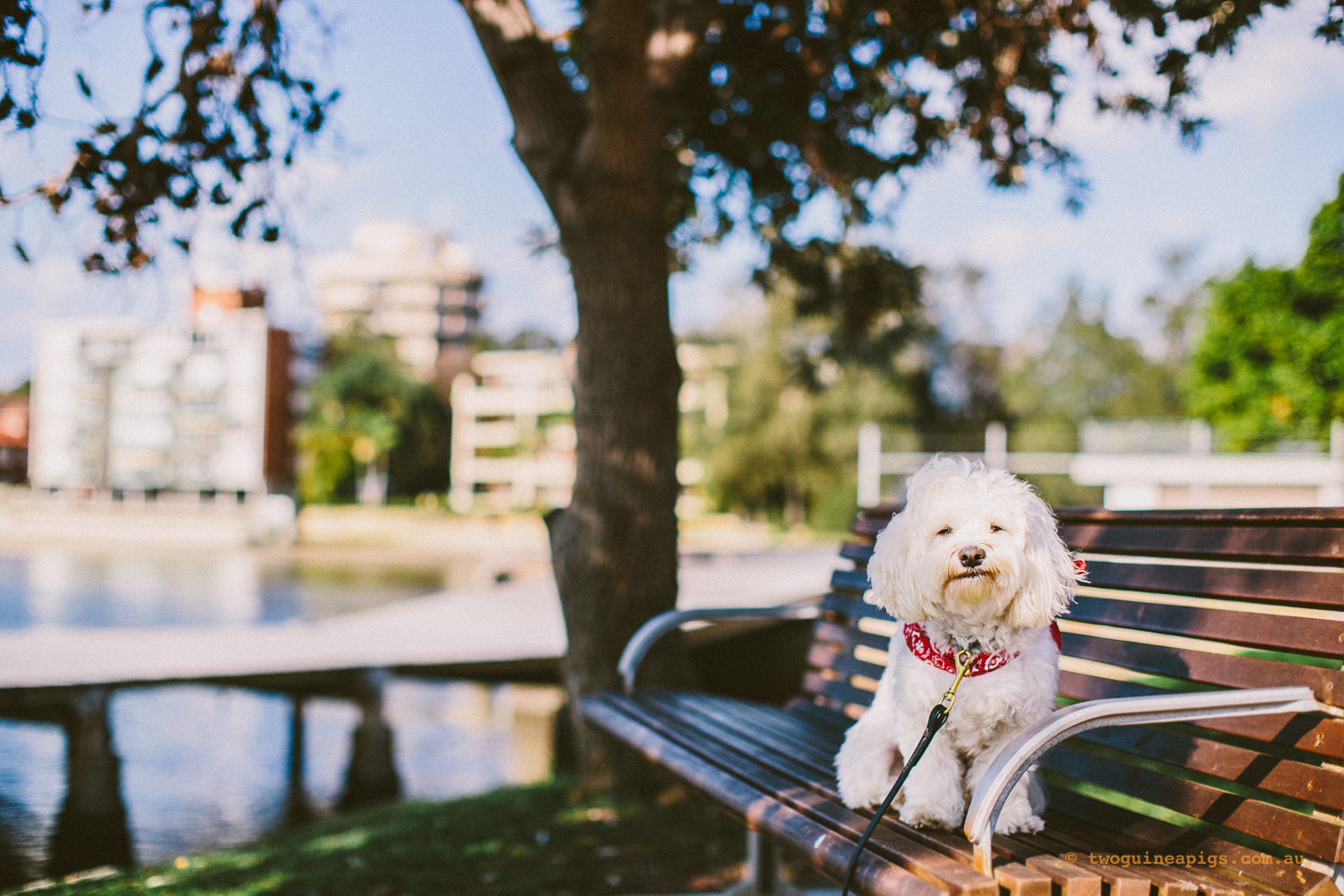 twoguineapigs_pet_photography_dalston_havanese_holiday_day8_dog