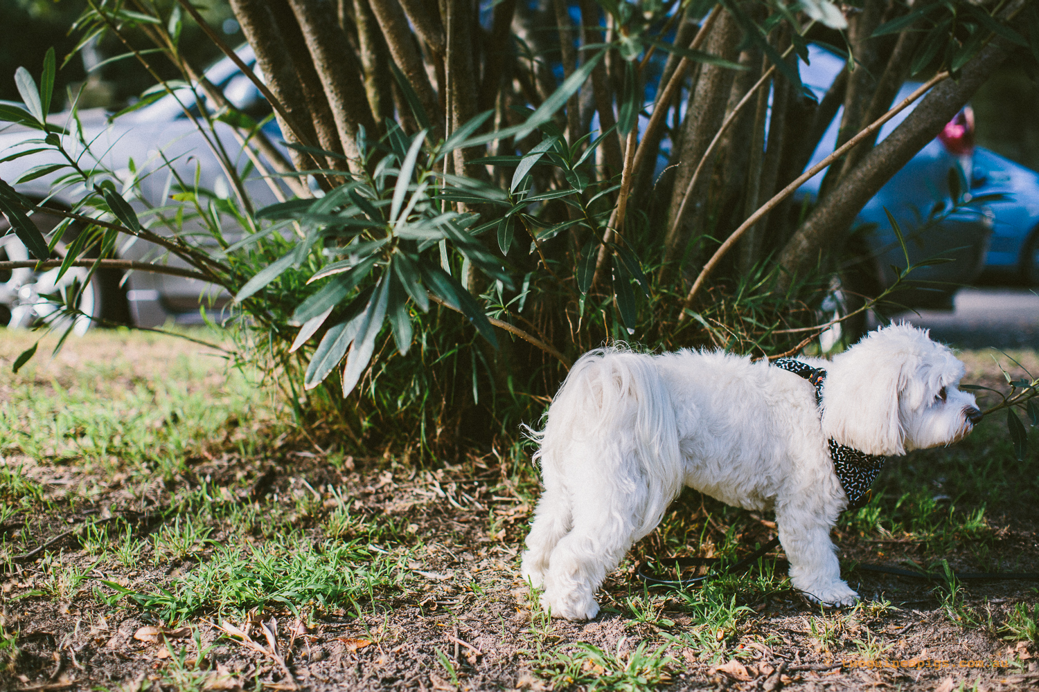 twoguineapigs_pet_photography_dalston_havanese_holiday_day9_dog