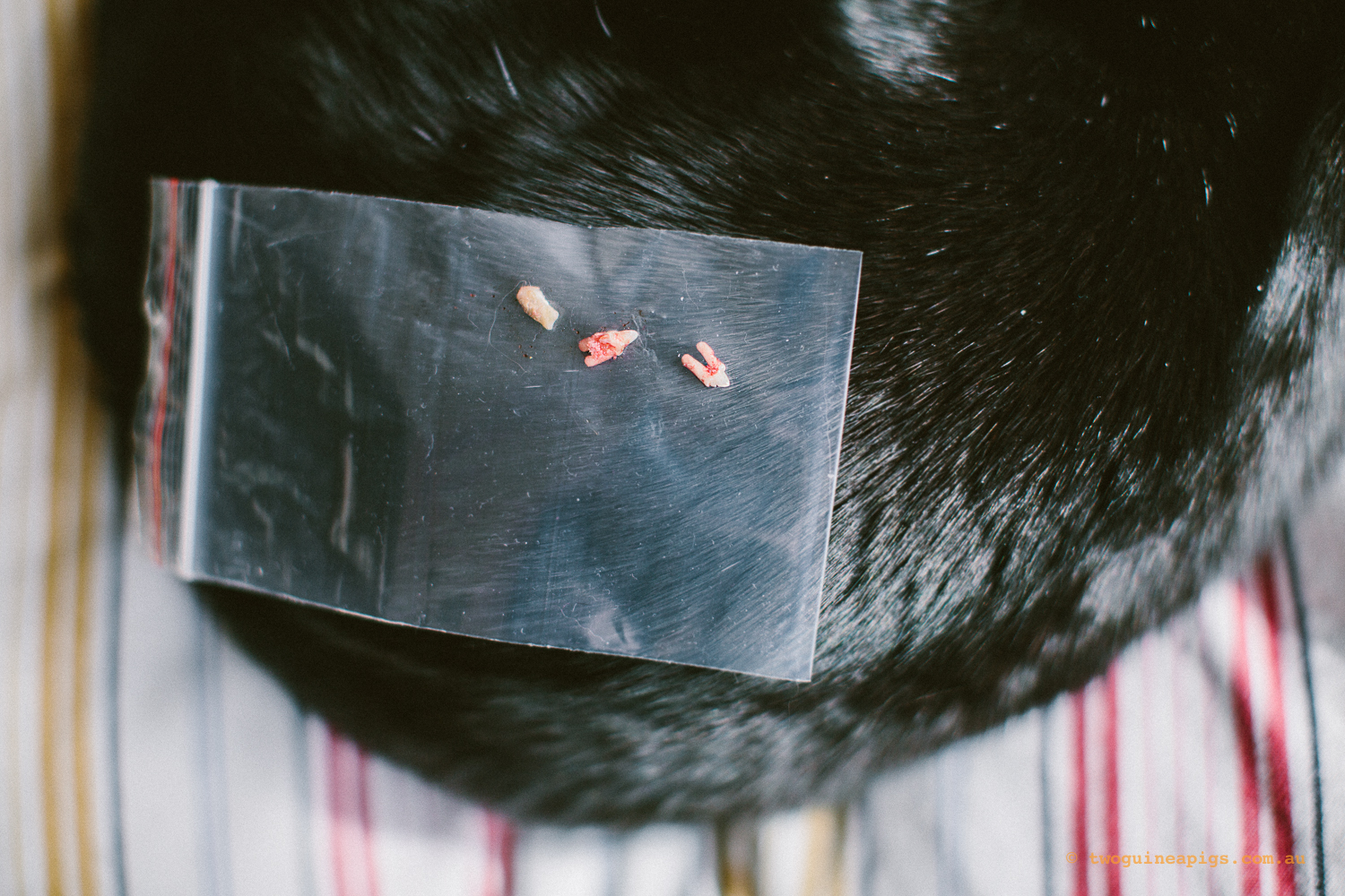 twoguineapigs_pet_photography_blackcats_pf_back_from_dental_surgery_1500-19.jpg