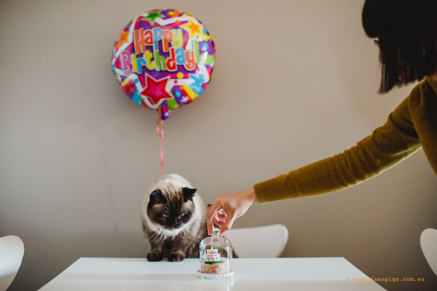 twoguineapigs_pet_photography_tiger_exotic_himalayan_cross_cat_10th_birthday_adventures