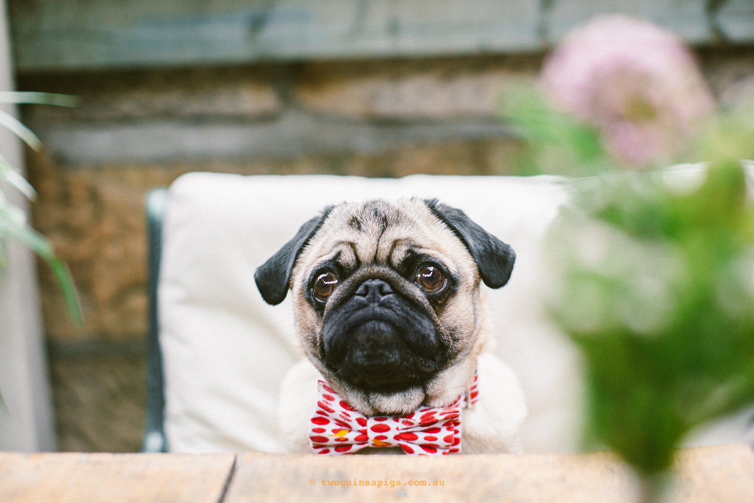 twoguineapigs_pet_photography_ohjaffa_bespoke_bow_tie_designer_pug
