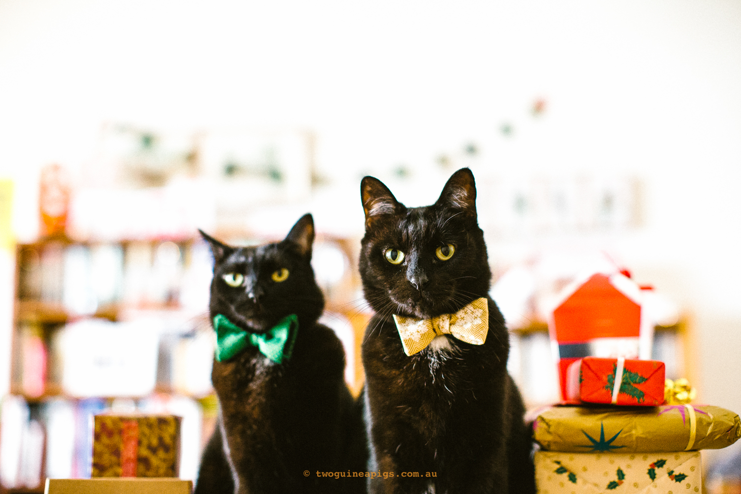 twoguineapigs_pet_photography_blackcats_happy_christmas_red_ribbons_christmas_morning_black_cats_mrbig_pf_behind-the-scenes_catinberlin_bowties