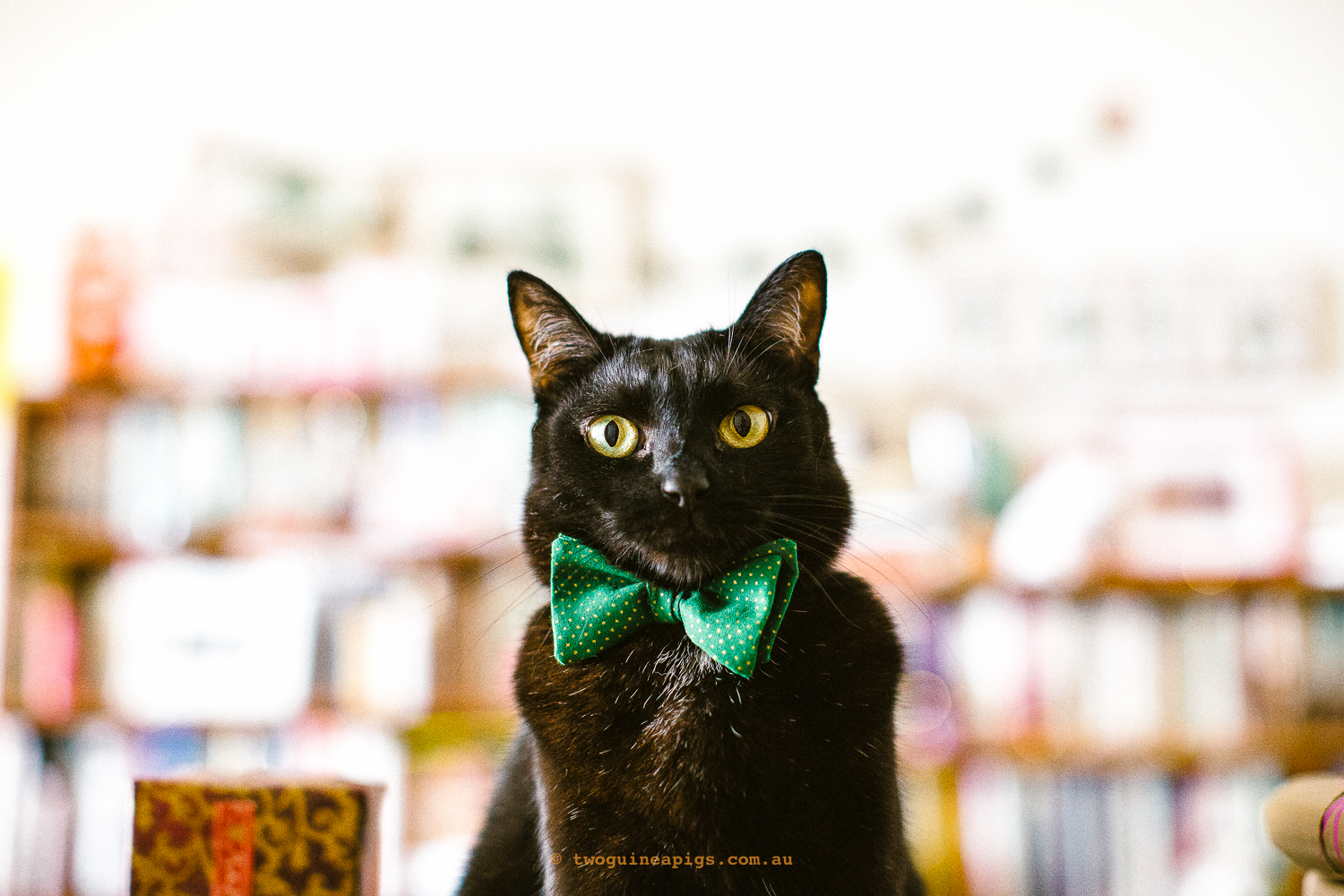 twoguineapigs_pet_photography_blackcats_happy_christmas_red_ribbons_christmas_morning_black_cats_pf_behind-the-scenes_catinberlin_bowties