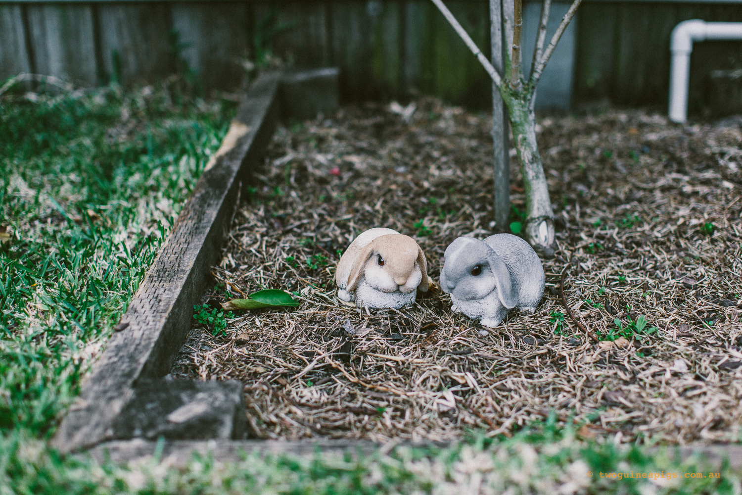 twoguineapigs_pet_photography_stella_french_bulldog_sans_souci_puppy