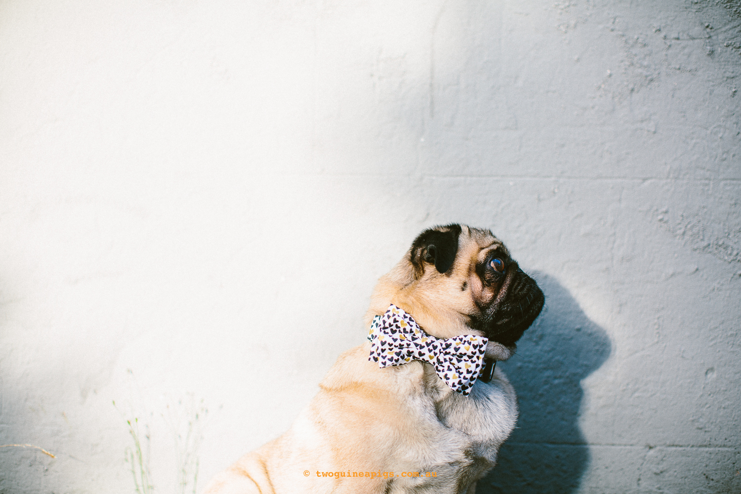twoguineapigs_pet_photography_ohjaffa_bowtie_pug_valentines_day_design_heart_to_heart