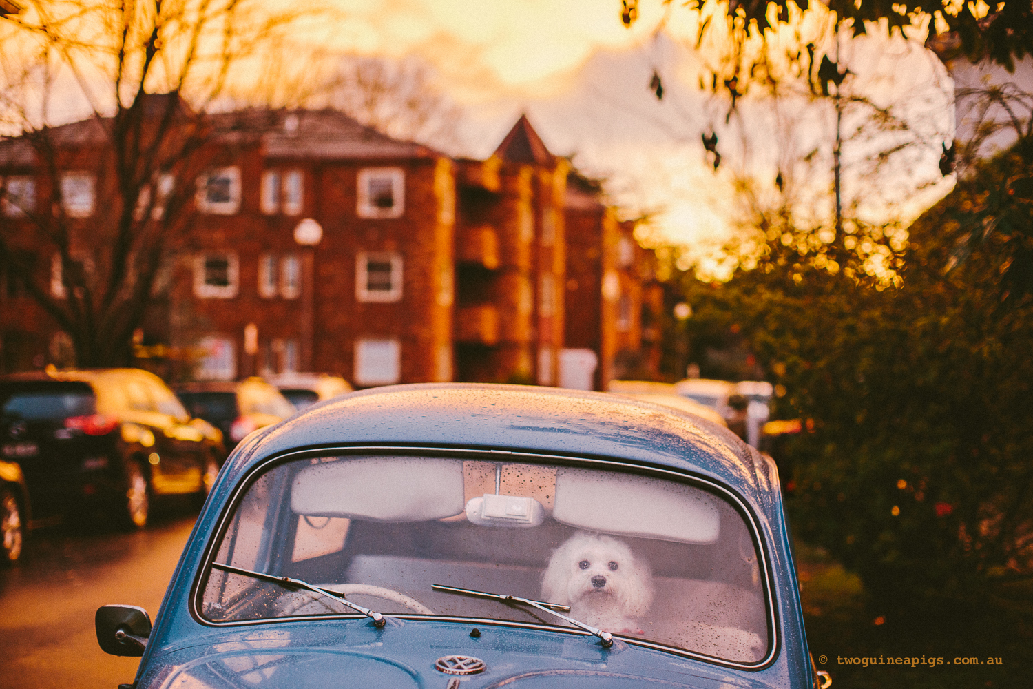 twoguineapigs_pet_photography_dalston_havanese_day_3_1500-13.jpg