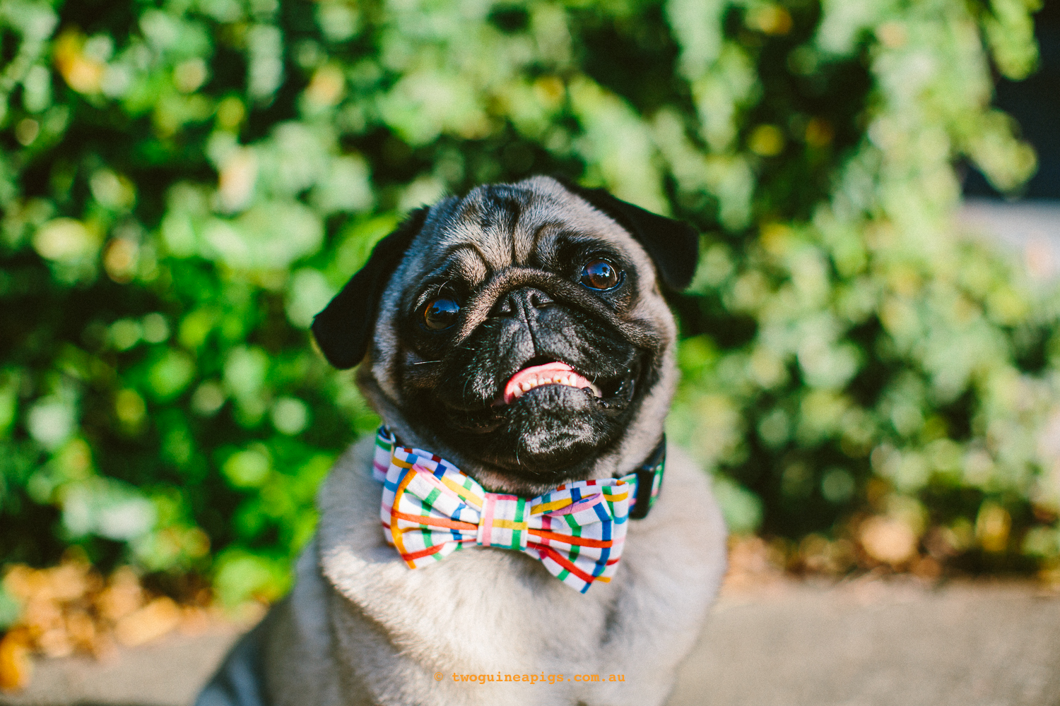 twoguineapigs_pet_photography_ohjaffa_2016_mardi_gras_rainbow_grid_bowtie_pug