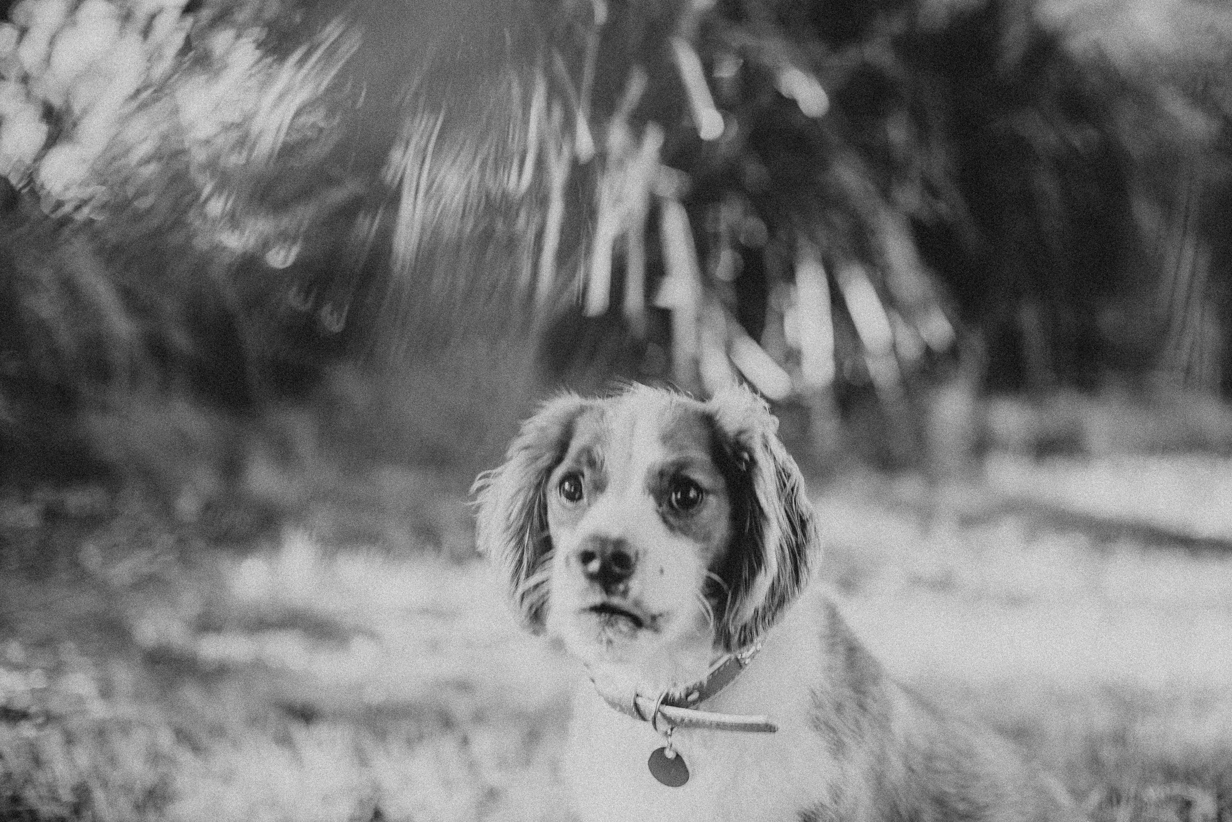 twoguineapigs_pet_photography_loki_beagle_x_kings_charles_nicola_scott_coleman_3000-2.jpg