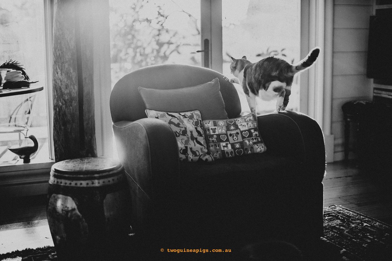 twoguineapigs_pet_photography_jkblackwell_poppy_jackrussell_iris_tabby_robinlow_kirribilli_1500-51.jpg