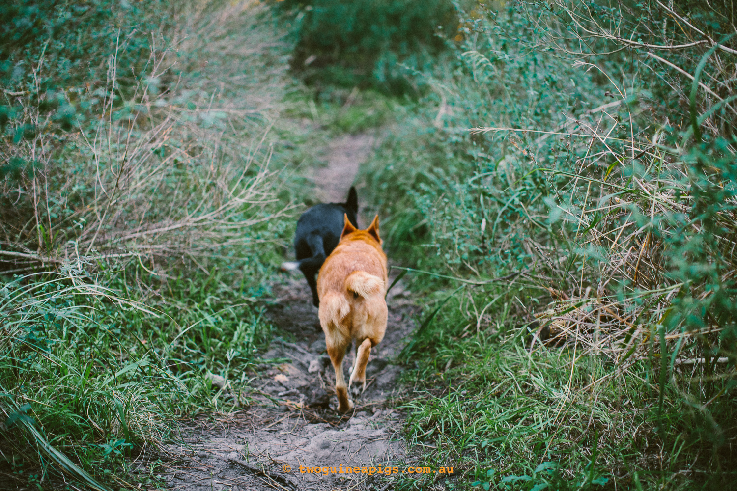 twoguineapigs_pet_photography_jkblackwell_emma_bonnie_scooby_trevor_anthony_acd_kelpie_stumpy_dingo_1500-126.jpg