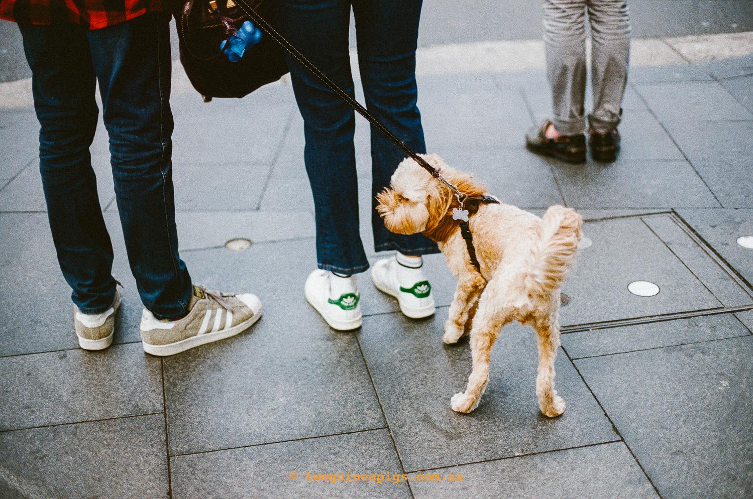 Street Cavoodle