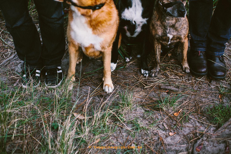 twoguineapigs_pet_photography_jkblackwell_emma_bonnie_scooby_trevor_anthony_acd_kelpie_stumpy_dingo_1500-123.jpg