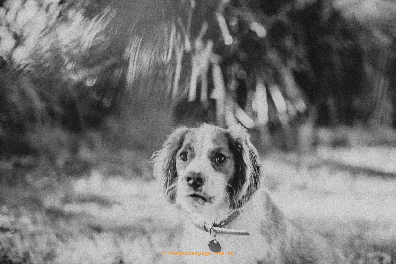 twoguineapigs_pet_photography_loki_beagle_x_kings_charles_nicola_scott_coleman_1500-2.jpg