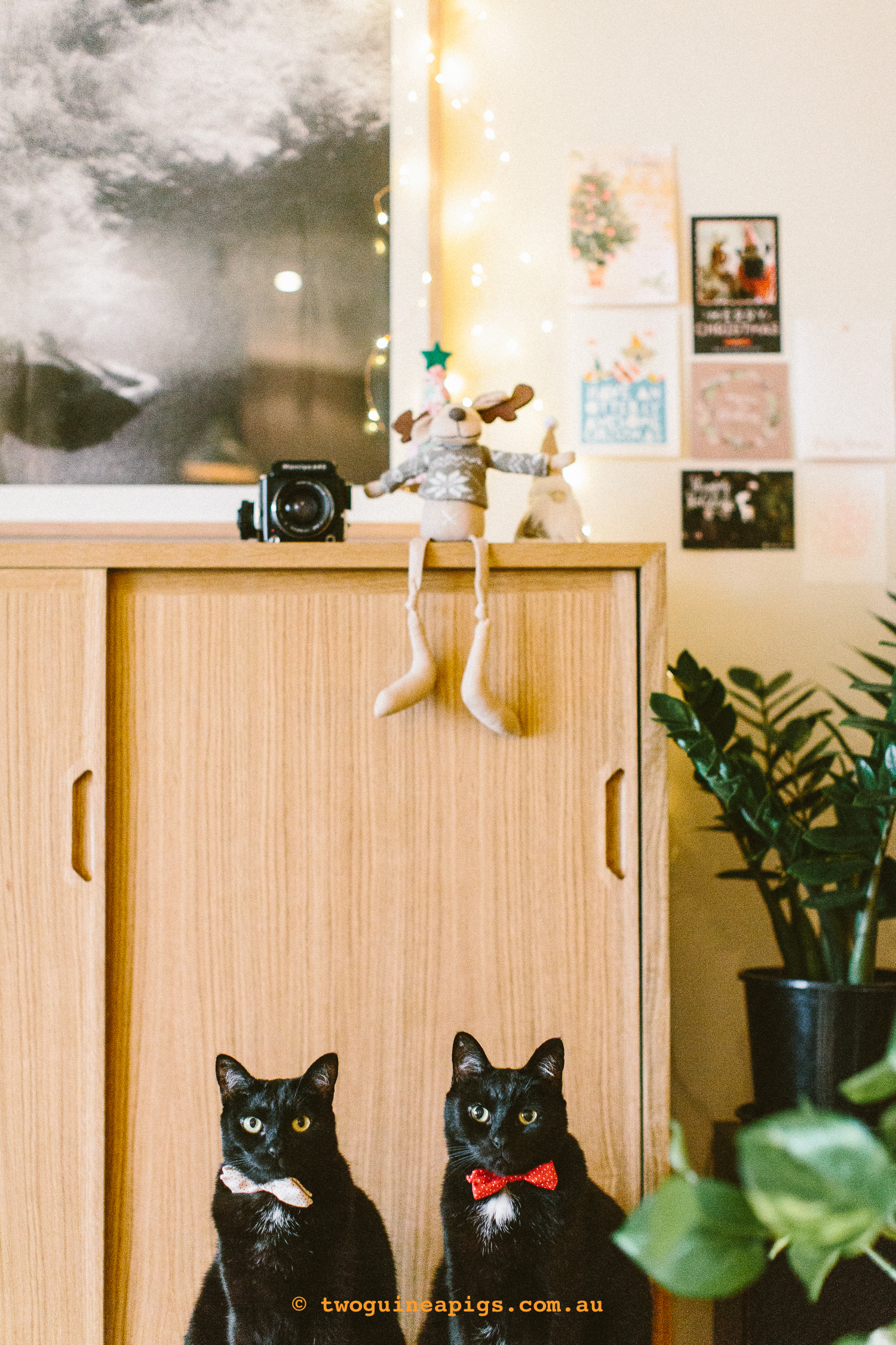 twoguineapigs_pet_photography_blackcats_interior