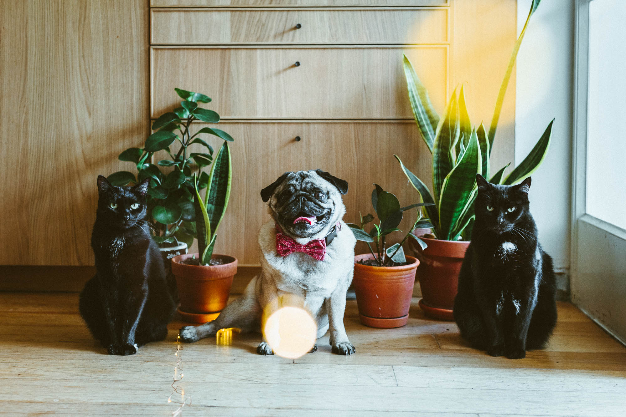 When Jaffa the Pug came for a visit © 2018 twoguineapigs.com.au