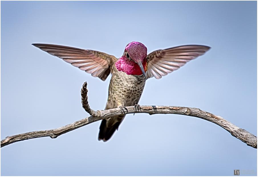 Hummingbird 19