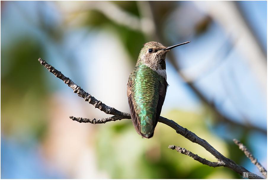 Hummingbird 22