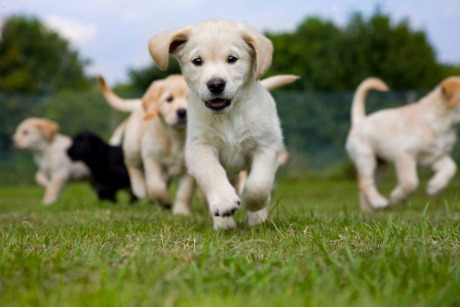 Golden-Labrador-puppy-running-towrds-the-camera-with-other-puppies-in-the-background1.jpg