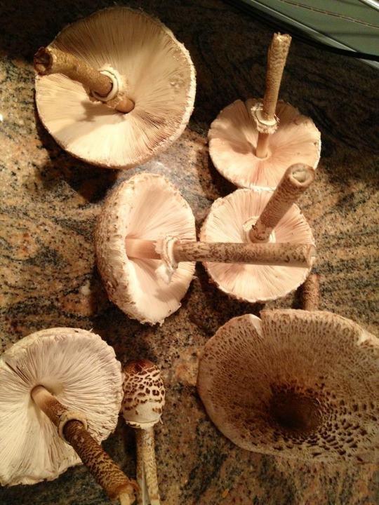 Parasol Mushrooms