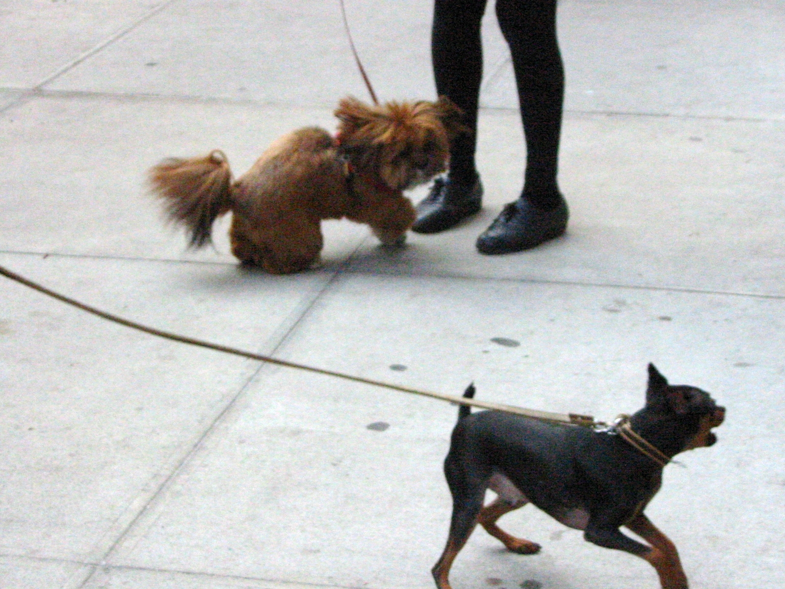 Dog Wars | 2nd Avenue, New York NY
