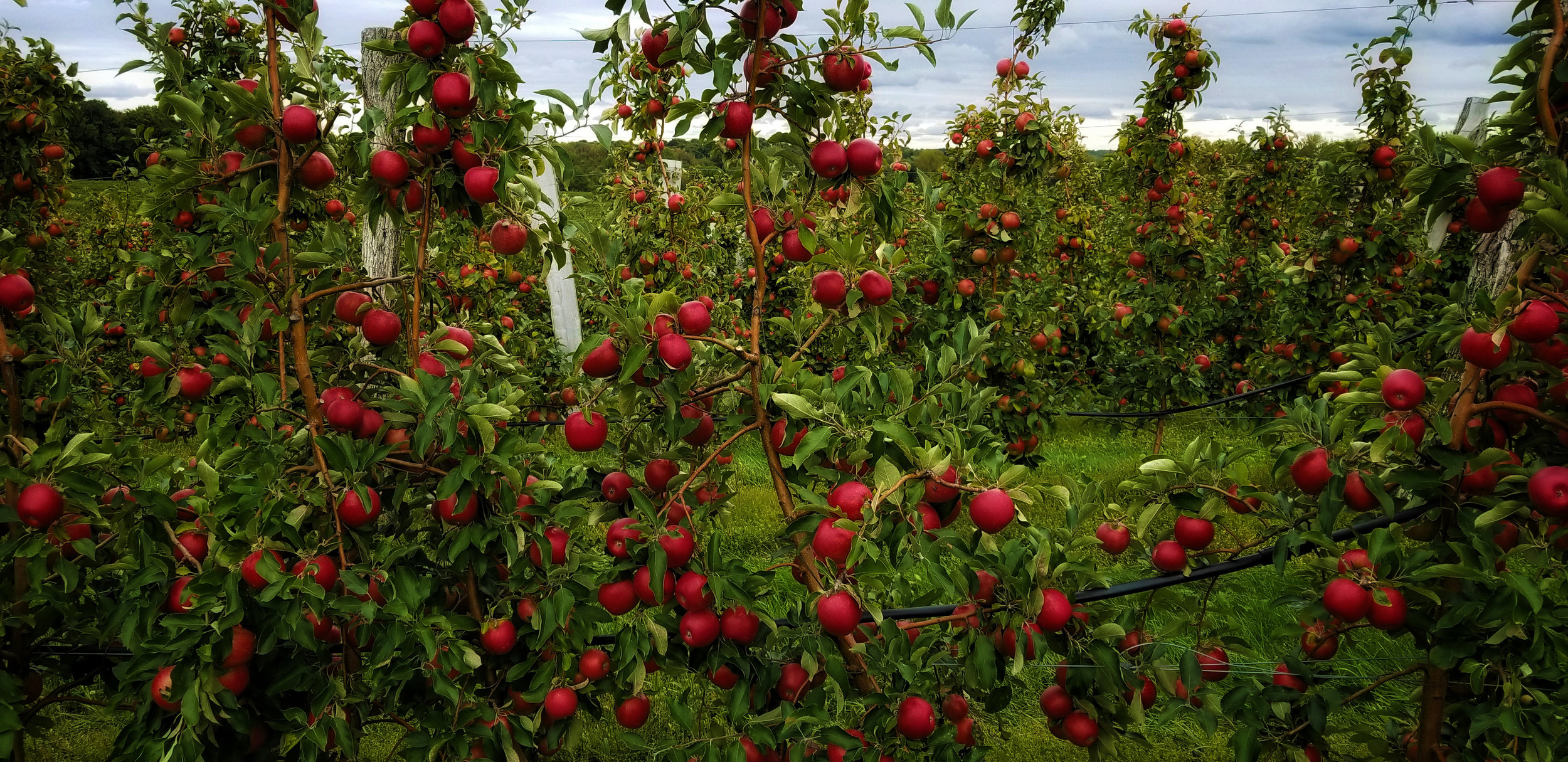 Apple Season | corner of Morrell Rd& Lummisville Rd, Wolcott, NY