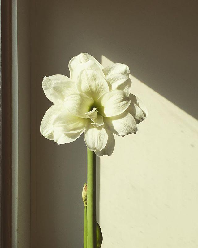 Fine tuning my amaryllis growing skills. Grandmother would certainly be proud! @marthacarpentersmith  #amaryllis #latebloomer