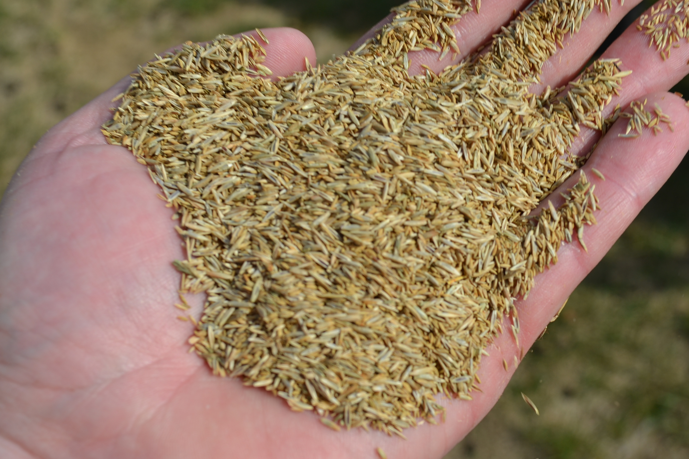 Grass-Seed-in-Hand.jpg
