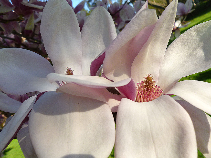 Beefy Magnolia by Village Hall, Q . Cassetti, 2013