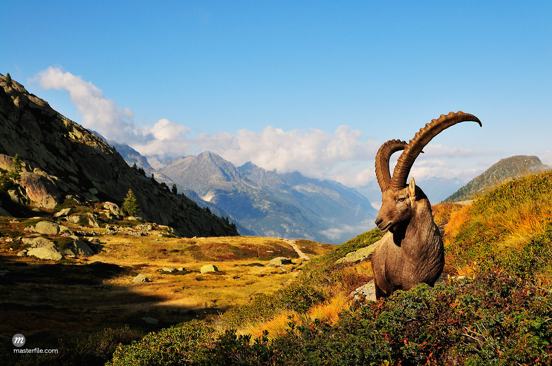 Alpine Ibex, Aiguilles Rouges, Chamonix, France  © Jochen Schlenker / Masterfile