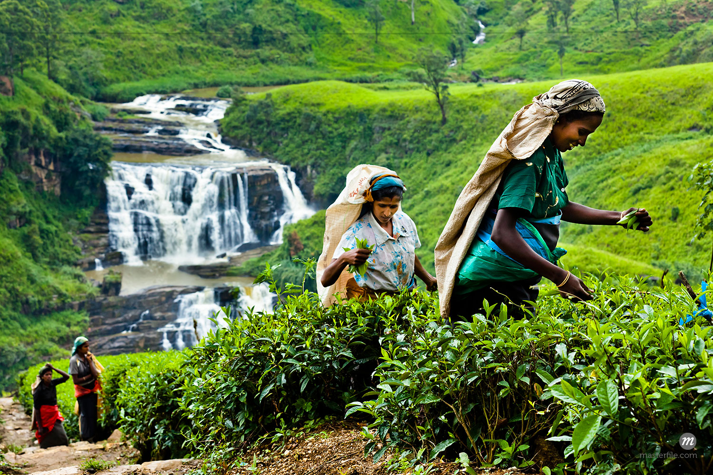Tea Pickers at Tea Plantation by St. Clair's Falls, Nuwara Eliya District, Sri Lanka  ©  R. Ian Lloyd / Masterfile