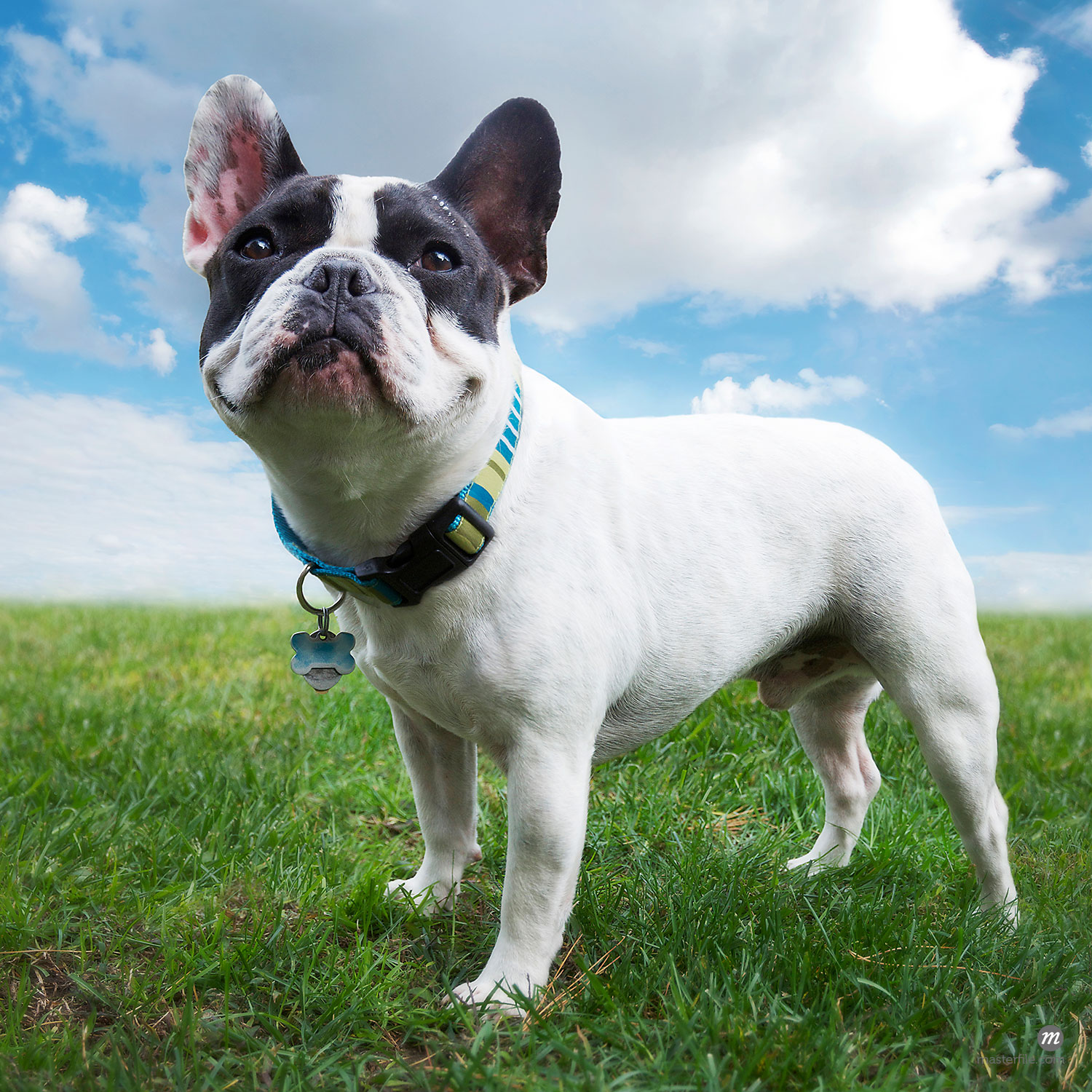 Four year old French Bulldog  © Andrew Kolb / Masterfile