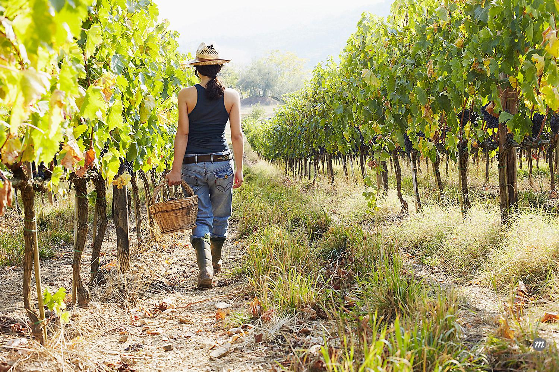 Woman picking grapes, Tuscany, Italty © Susan Findlay / Masterfile