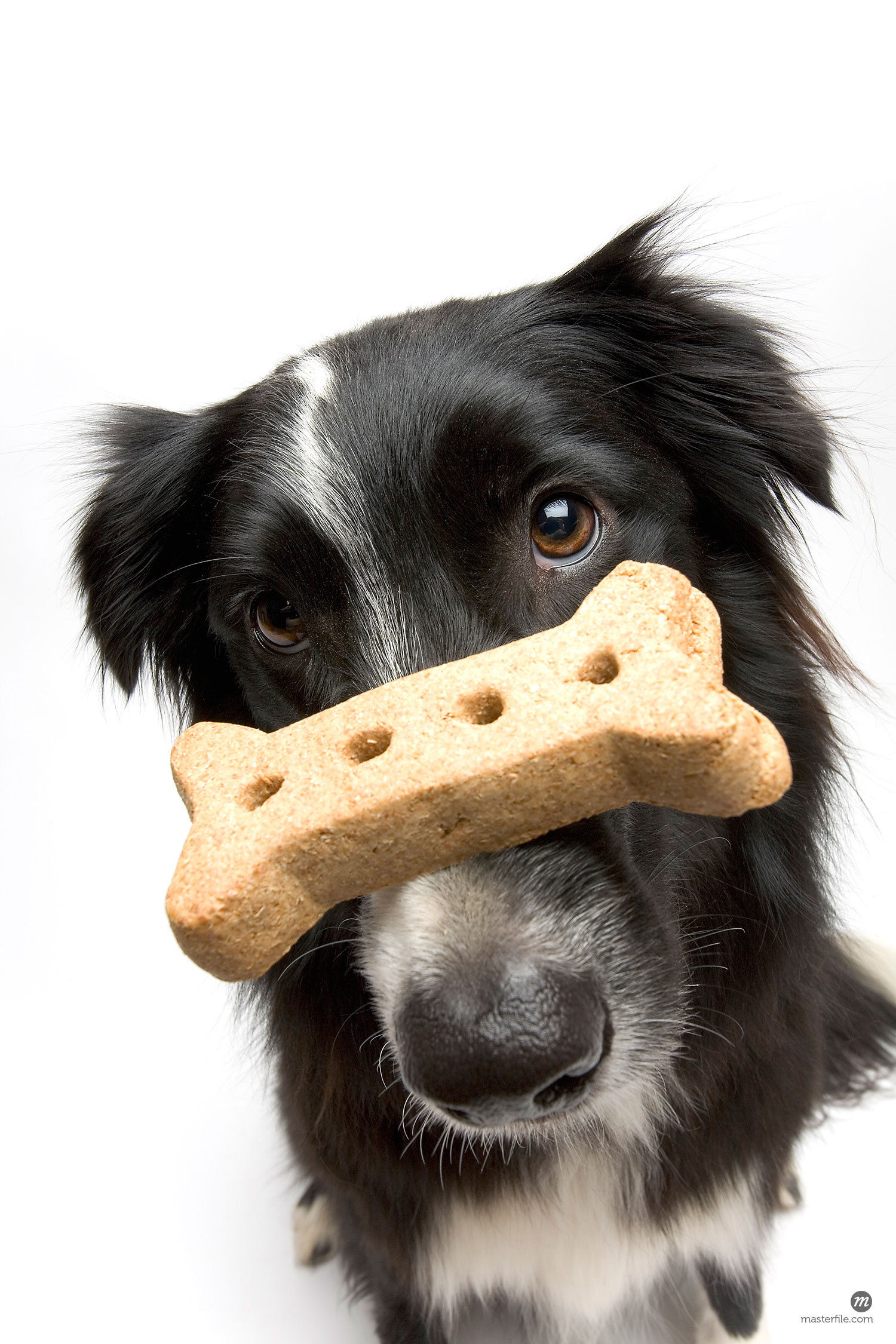 Portrait of dog with treat balanced on his nose  © Michael Eudenbach / Masterfile